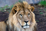 African Lion at the Phoenix Zoo